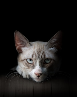 猫のクローズアップ、青い覆われた目。黒に分離された美しい白と灰色の猫