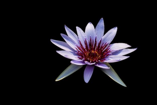 Фиолетовый цветок лотоса на черном фоне