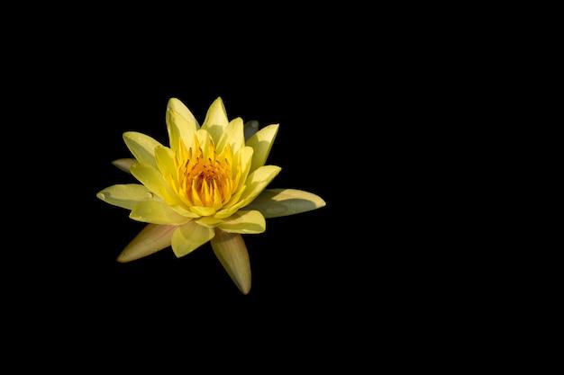 Желтый цветок лотоса на черном фоне