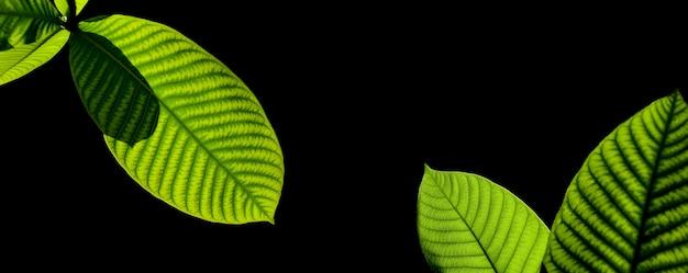黒の背景に分離された緑の葉