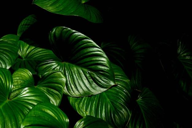熱帯林のバックグラウンドで緑の葉のカラジウムテクスチャ。
