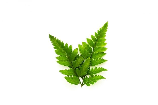 緑のシダの葉の白い背景で隔離