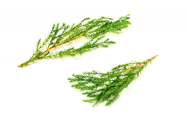 グリーンパインの葉と白い背景で隔離の小枝。