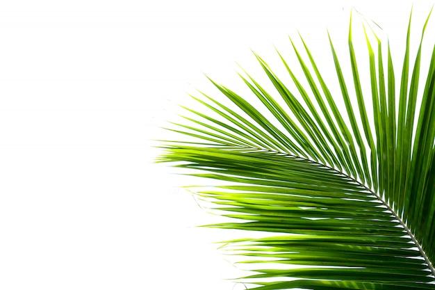 Листья кокосовой пальмы на белом фоне