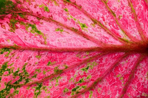 ピンクと緑のニシキイモ葉テクスチャ
