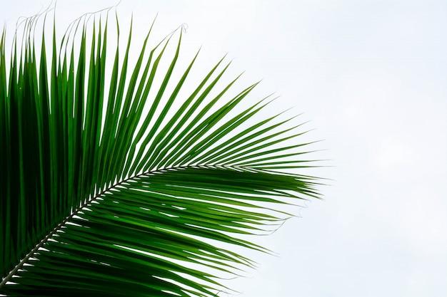 Листья пальмы, изолированные на белом