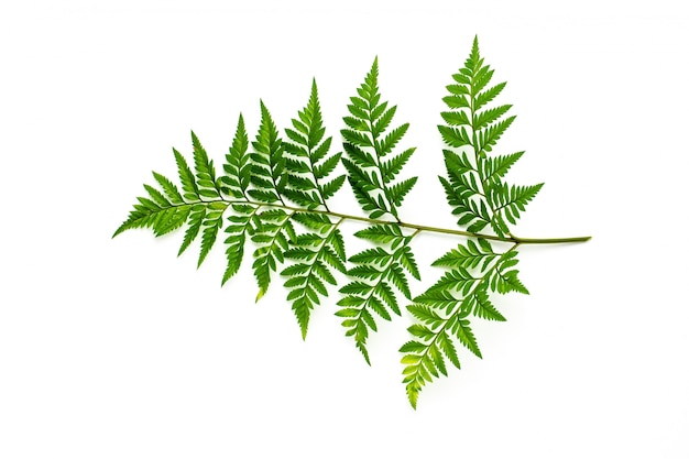 緑のシダの葉に孤立した白い背景