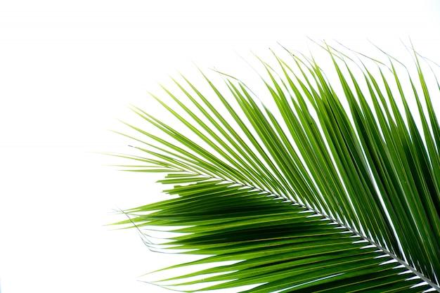 Красивые пальмовые листья на белом