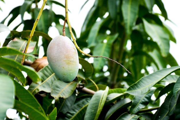 タイの有機農業農場で木の新鮮なグリーンマンゴー