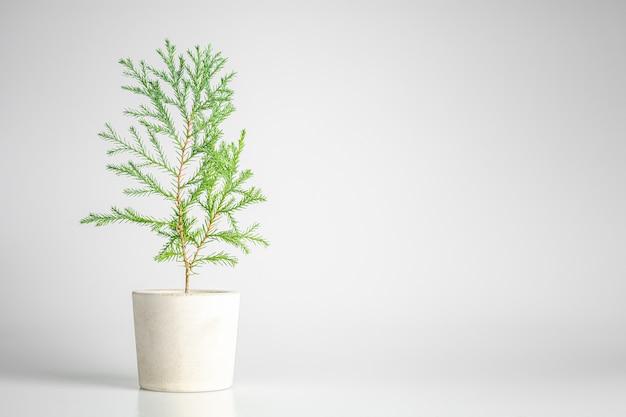 鍋に小さな緑のクリスマス松の植物。