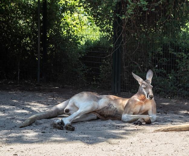 カンガルーは真夏の日陰で横になっています。