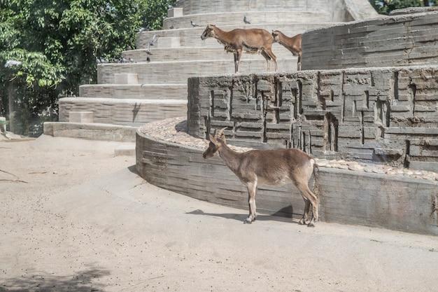 彼らに興味のある奇妙な騒音を見ているヤギ