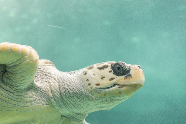 Морская черепаха крупным планом в соленой воде аквариума