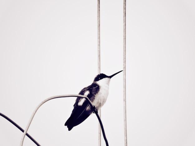 Колибри черный и белый второй выстрел