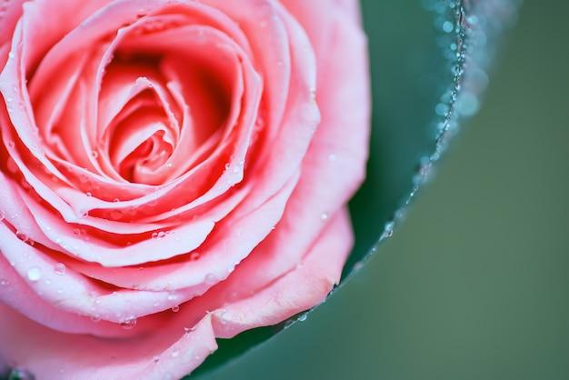 Середина красной розы с каплями воды на лепестках. крупным планом, цветочный фон