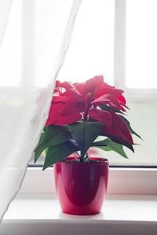 ライトウィンドウの背景のリビングルームでクリスマスの花ポインセチア。ナチュラルトーン