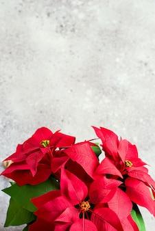 クリスマスの花ポインセチアの光。自然なトーンの写真