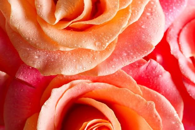 Декоративный праздничный от макро вид свежего натурального розового цветка с каплями воды на лепестках.
