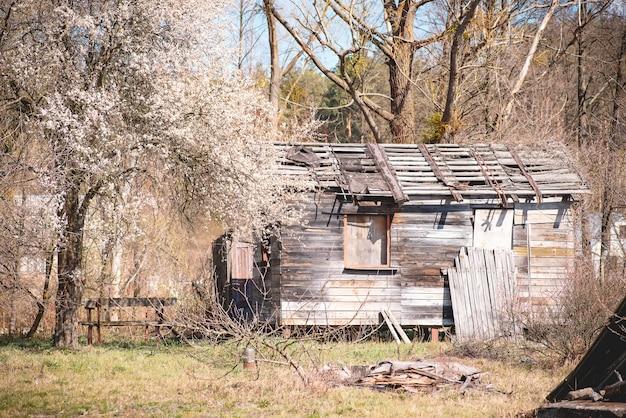 Заброшенный старый деревянный дом в деревне возле цветущей вишни