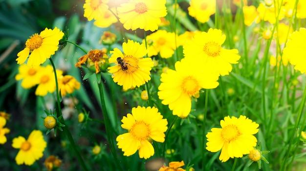 Пчела на желтом цветке ромашки, в саду