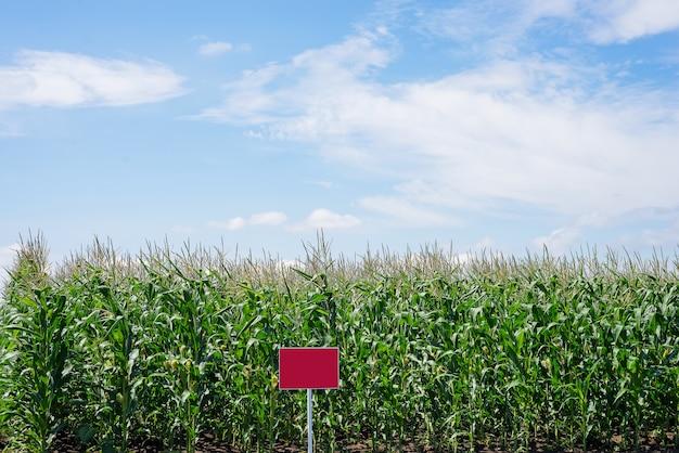 田舎のトウモロコシ畑を閉じます。多くの若いトウモロコシが売りに出されています。コピースペース