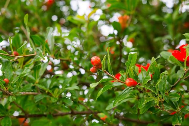 Гранатовые цветы и зеленые листья на фоне природы