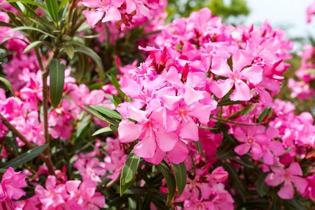 ピンクのキョウチクトウまたはネリウムの花が木に咲きます。美しいカラフルな花の背景