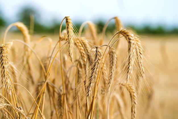 Колоски пшеницы в солнечном свете. пшеничное поле