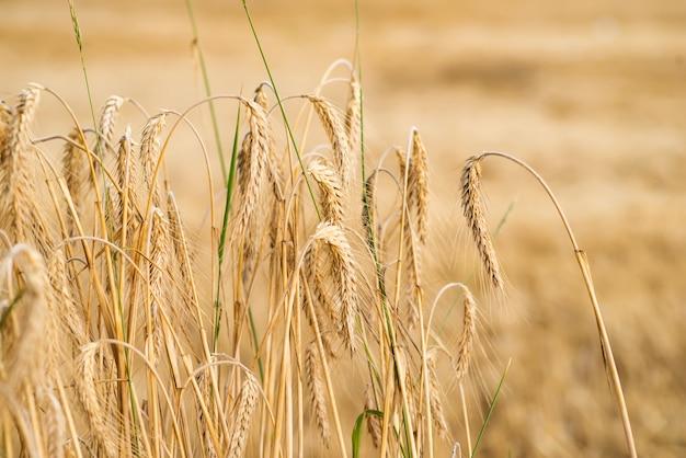 日光の小麦の穂。小麦畑