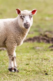 フィールド上の羊