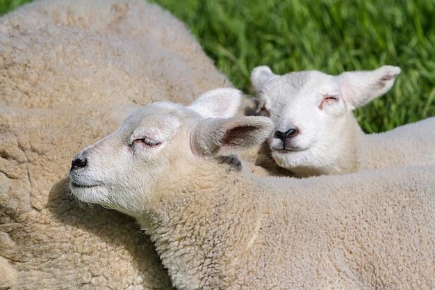牧草地を歩く母親の子羊と子羊