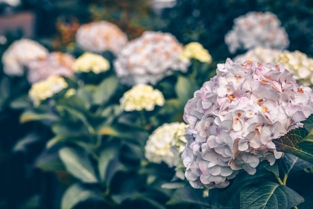 ピンクのアジサイの花