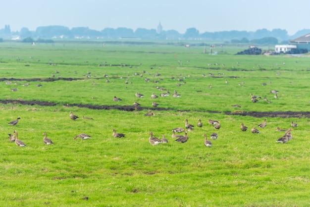 Много диких гусей в поисках пищи на лугу