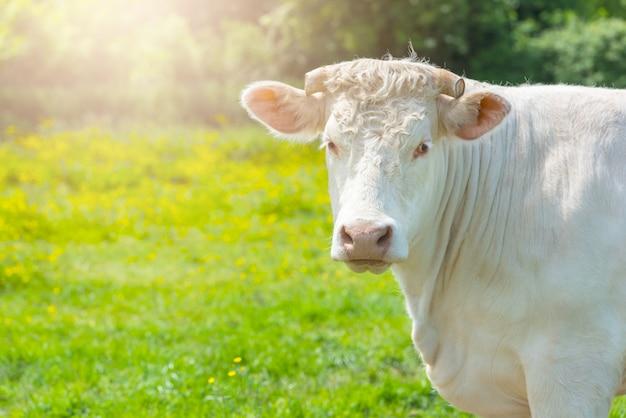 緑の牧草地で白い牛