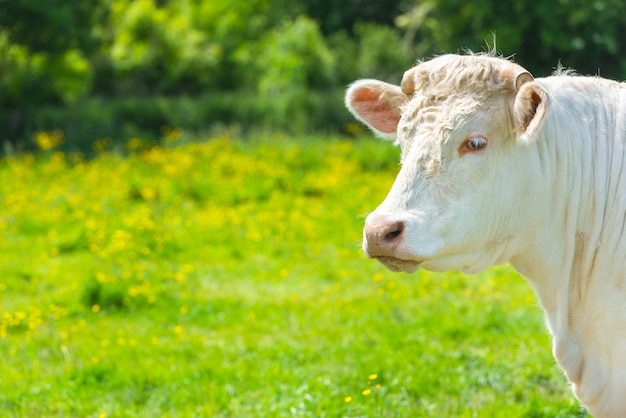 Белая корова на зеленом лугу