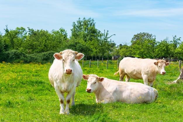 緑の牧草地で白い牛の群れ