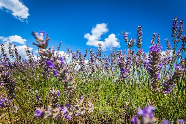 Лето лавандовое поле