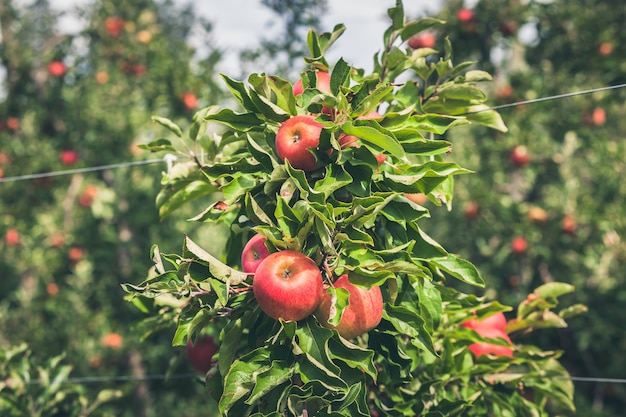 熟した赤い果実でいっぱいのリンゴ園