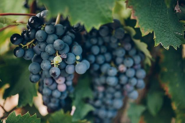 Спелый виноград на ветке крупным планом