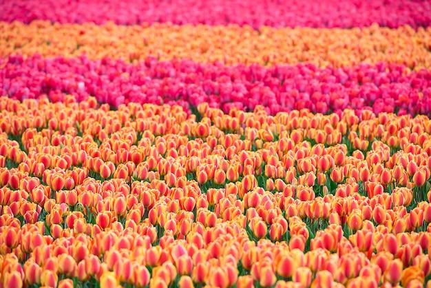 オランダの色とりどりのチューリップ畑