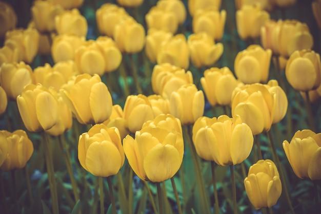 オランダの黄色いチューリップ畑