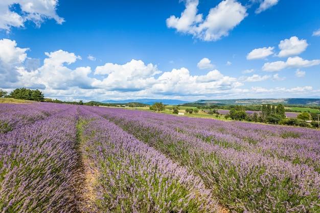 フランス、プロヴァンスのラベンダー畑