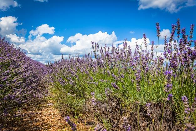Летнее поле лаванды в провансе, франция