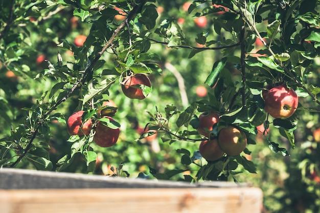 熟した赤い果実でいっぱいのアップルガーデン