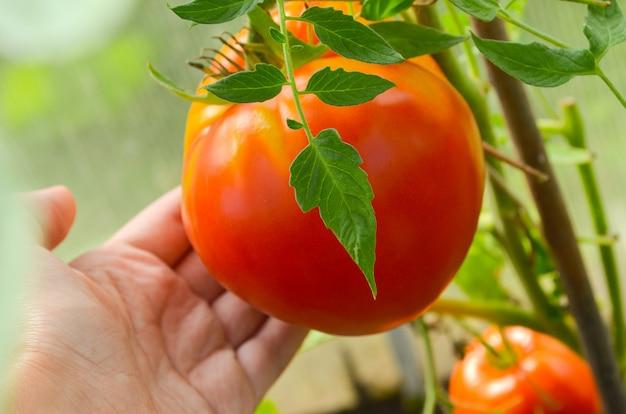Красные и зеленые помидоры, созревающие в теплице из прозрачного поликарбоната
