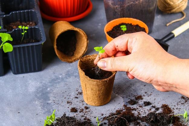 移植、植栽、灰色のコンクリート背景に苗を振りかけます。