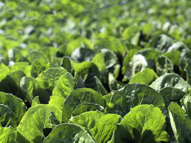 緑の葉の水耕野菜畑