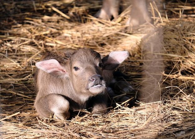 水牛の赤ちゃんは朝の太陽のわらで眠る