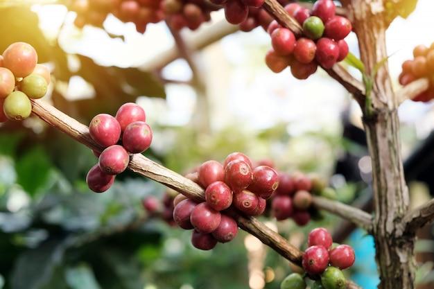 コーヒー農園で木の上のコーヒー豆