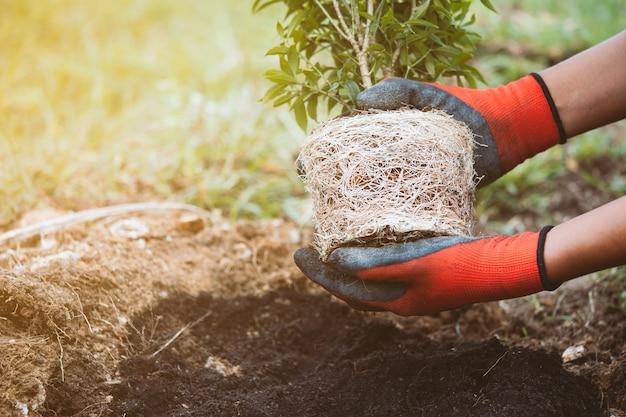 若い木を持っている人間の手は、世界の概念を保存するために黒い土壌に植え付ける準備をする